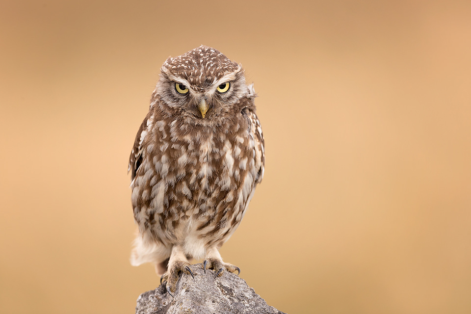 An adult little owl stares intently at some prey rustling in the grass below. Derbyshire, Peak District NP.