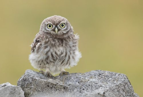 Surprised Little Owlet. This Little Owlet seemed very surprised to see my lens pointing at it when it flew up from the ground to join the parent on the top of the wall. Derbyshire, Peak District NP.