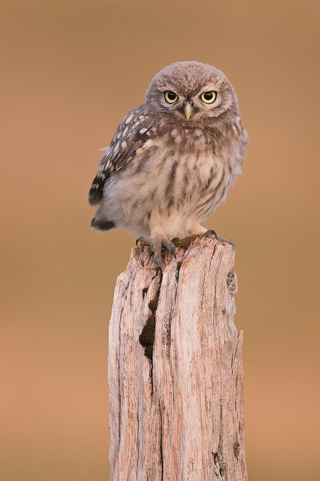 Little Owlet perched on an old wooden post, Derbyshire, Peak District NP.