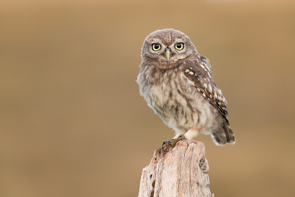Little Owlet Portrait. Little Owlet perched on a weathered old wooden post at Dusk. Derbyshire, Peak District NP.