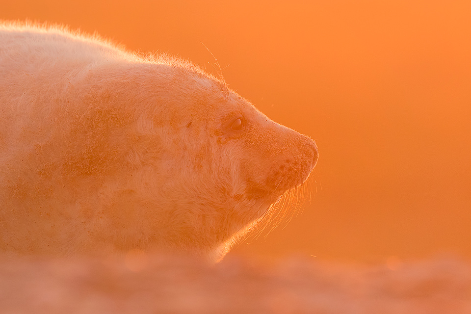 Backlit Grey Seal Pup. Grey Seal Pup backlit by the warm rays of the setting sun. Lincolnshire, UK.