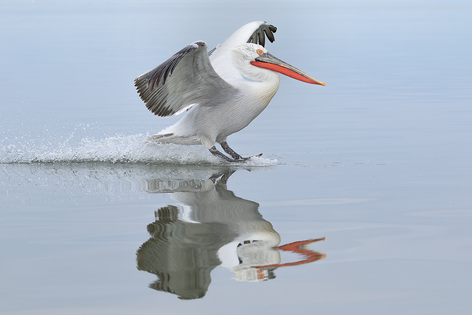 Dalmatian Pelican Landing. These huge birds aren't the most graceful flyers but when they come in to land their water skiing is top notch! Lake Kerkini, Northern Greece.
