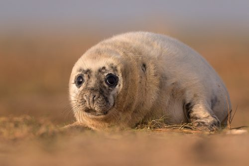 Grey Seal Pup Portrait. Lincolnshire, UK.
