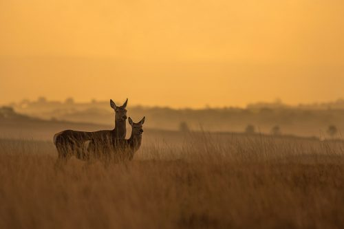 Doe and Fawn at Dawn. Red deer doe and her fawn stand in the long moorland grass at dawn. Derbyshire, Peak District National Park.