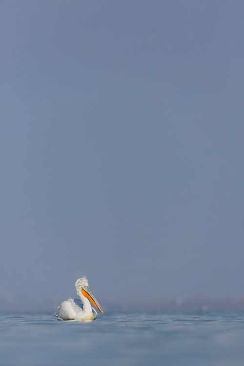 Dalmatian Pelican Small in the Frame. Although I usually like to get close to my subjects I always try and capture some images of the animal small in the frame to give a bit of variance to the series of photographs. Lake Kerkini, Northern Greece.