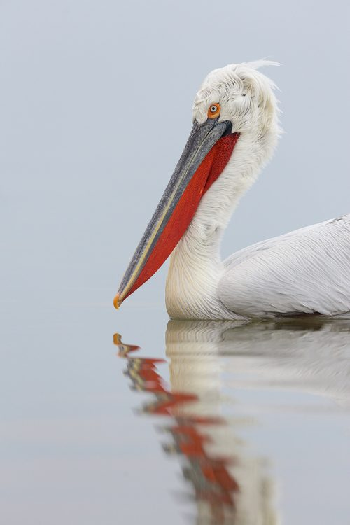 Adult Dalmatian Pelican reflected in the still waters of Lake Kerkini, Northern Greece.