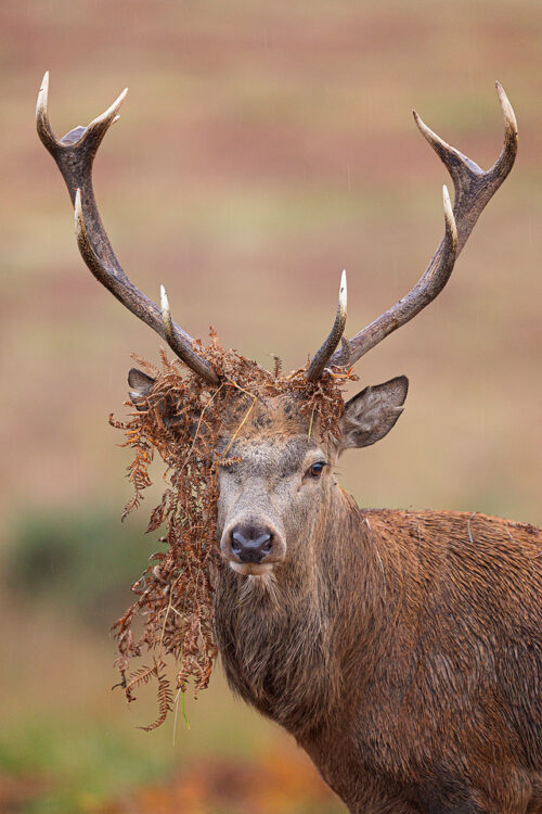 Stag Antler Ornaments. During the Autumn rut the stags regularly rub their antlers through vegetation hoping to attach some to their antlers, behaviour that is believed to make them look more intimidating.