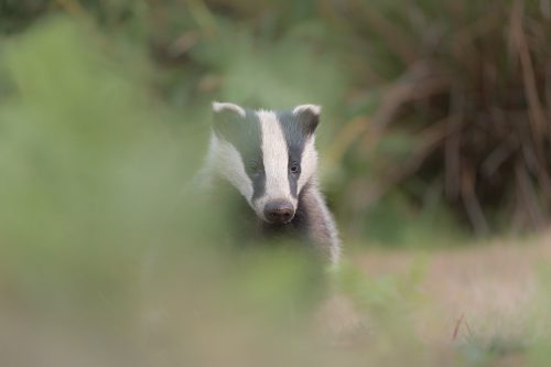 A badger cub peers cautiously through the bracken trying to work out what is making the clicking sound. Derbyshire, Peak District National Park. Despite being incredibly shy and elusive, badgers are one of my favourite British species to photograph.