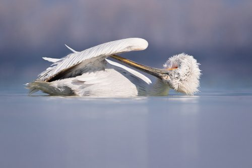 Preening Pelican. Dalmatian pelican preening under its wings whilst on the water. Lake Kerkini, Northern Greece. These stunning birds spent a lot of their time ensuring they were looking their best as the breeding season approached.