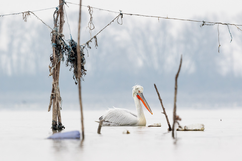 An adult Dalmatian pelican drifts through the fishing poles on the shores of Lake Kerkini, Northern Greece. At the beginning of my time at Kerkini I avoided photographing the pelicans as they moved between the assorted flotsam near the shoreline, seeing it as a major distraction. However by the end of the week I realised the potential to create some interesting and unique images using the distinctive fishing poles.