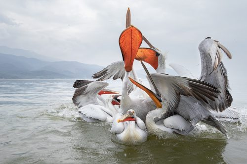 Pelican Pile Up. A group of pelicans squabble for the fresh fish thrown to them by the local fishermen. Although there is often controversy around the regular feeding of wildlife as it can cause dependency, there is no doubt that the help from the fishermen here has not only helped to bring the pelicans back from the brink of extinction, but also to bring in money for the local community through ecotourism.