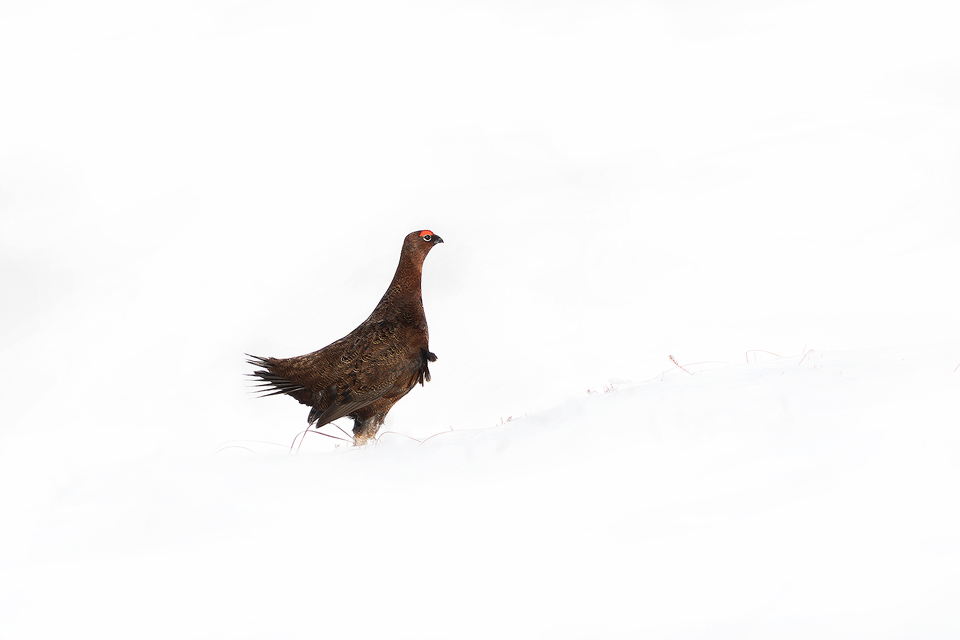 Red Grouse Displaying in deep snow. Male red grouse posturing and fanning out tail feathers to impress a nearby female. Derbyshire, Peak District National Park.