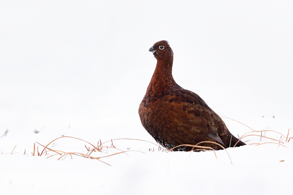 Red Grouse in Snow. Young male red grouse feeding on vegetation poking through the deep snow drifts. I really like the simplicity of snowy images like this, it almost looks as though it could have been taken in a studio!