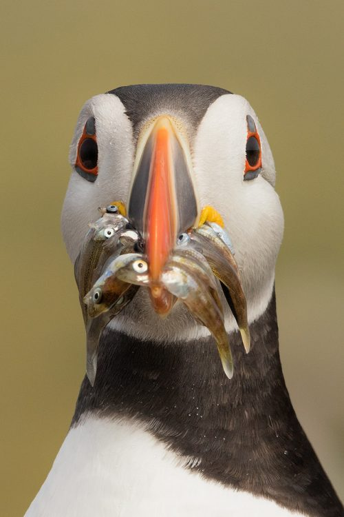 Farne Islands Puffin . Atlantic Puffin close up portrait with a beak full of sand eels. Farne Islands, Northumberland.