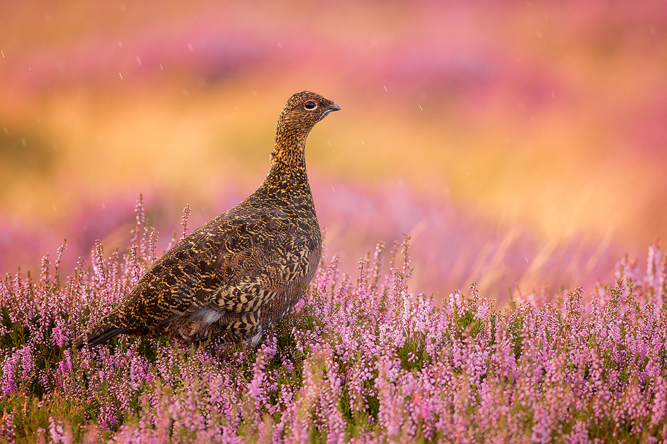 Red Grouse in heather, taken during the August heather bloom in the Peak District National Park.