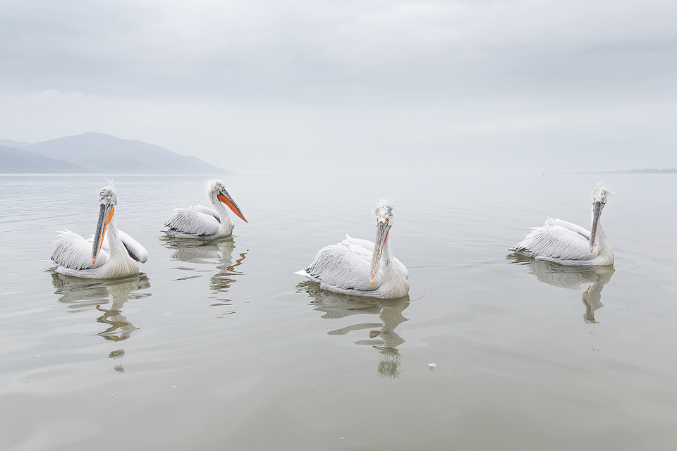 Four adult dalmatian pelicans float on the still waters of Lake Kerkini under a moody sky with the mountains on the Bulgarian as a backdrop.