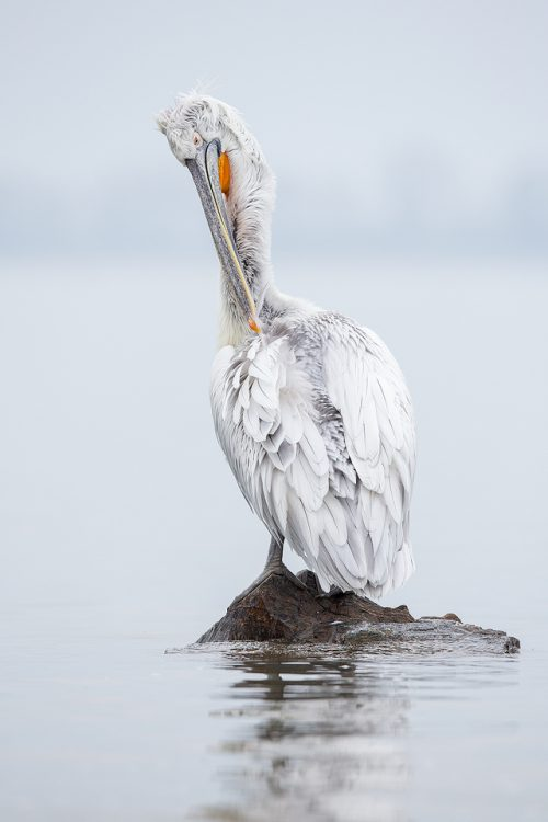 Preening Pelican. Dalmatian pelican preening on a rock at the edge of an artificial island, created specifically to help increase breeding success and reduce disturbance. Lake Kerkini, Northern Greece.