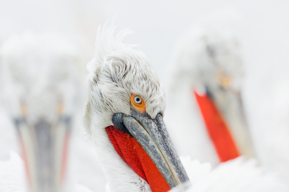 Dalmatian Pelican Close up. Here I used the other two pelicans and a shallow depth of field to frame the subject. Lake Kerkini, Northern Greece. European Wildlife Photography.