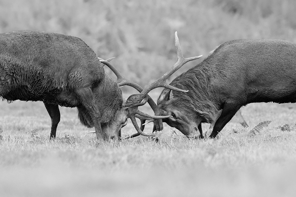 Rutting Stags Close Up. Red Deer stags locked in combat for control of a group of hinds. Although my preference is to photograph my local population of wild deer in the Peak District National Park, I do occasionally visit the deer parks for images that are too dangerous or difficult to attempt in the wild. One of the issues with photographing wild red deer rutting is that their heads are often obscured by long vegetation not a problem in the much more manicured deer parks.
