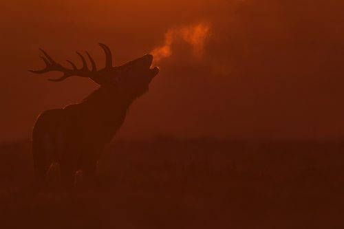 Red Dawn Stag. Red deer stag bellowing into the crisp dawn air, backlit by the rising sun. I had hoped for much more cold mornings like this one during the rut, but sadly it was extremely warm this year, a trend that looks set to continue! Derbyshire, Peak District National Park.