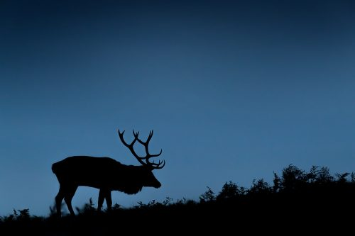 Dusk Silhouette Stag. Silhouettes are often tricky to get right, but stags are by far one of the easiest with their immediately recognisable antlers! Here I underexposed by 2 stops and stopped down to f/8 to ensure the bracken along the horizon was nice and sharp.