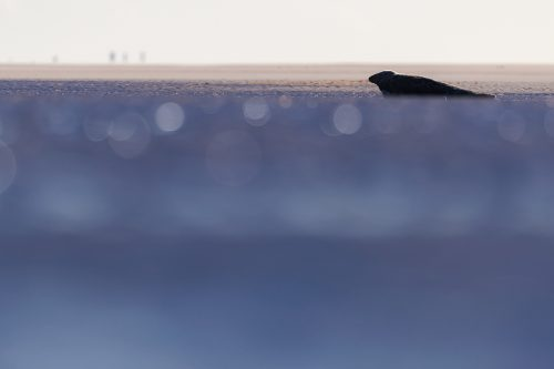 Abstract Seal. The day before my seal workshops began I headed down to the beach at dawn to work on my personal portfolio. Whilst I was photographing the colony in the sea, I turned and noticed this lone seal across a channel of water. The low winter sun glistened off the water beautifully causing the bokeh in the foreground but leaving the seal in shadow.