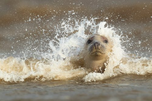 Lincolnshire Seal in the Surf. Image taken during my 2018 seal photography workshops. This image was taken as we watched the seals playing and socialising in the surf. Images like this are all about timing and here I was lucky to catch the wave cresting over the seals head, making the spray look like hair!