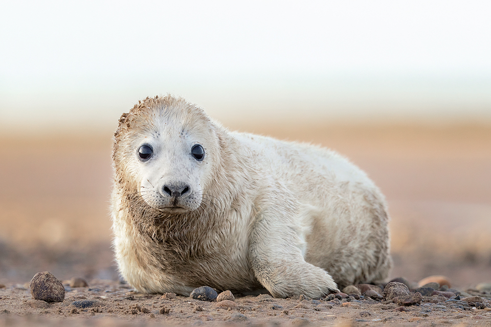 A fluffy white seal pup taken during one of my grey seal workshops. By approaching very slowly and carefully we were able to get close without causing disturbance. Seals are typically very inquisitive creatures and this pup came closer to give us a good look!