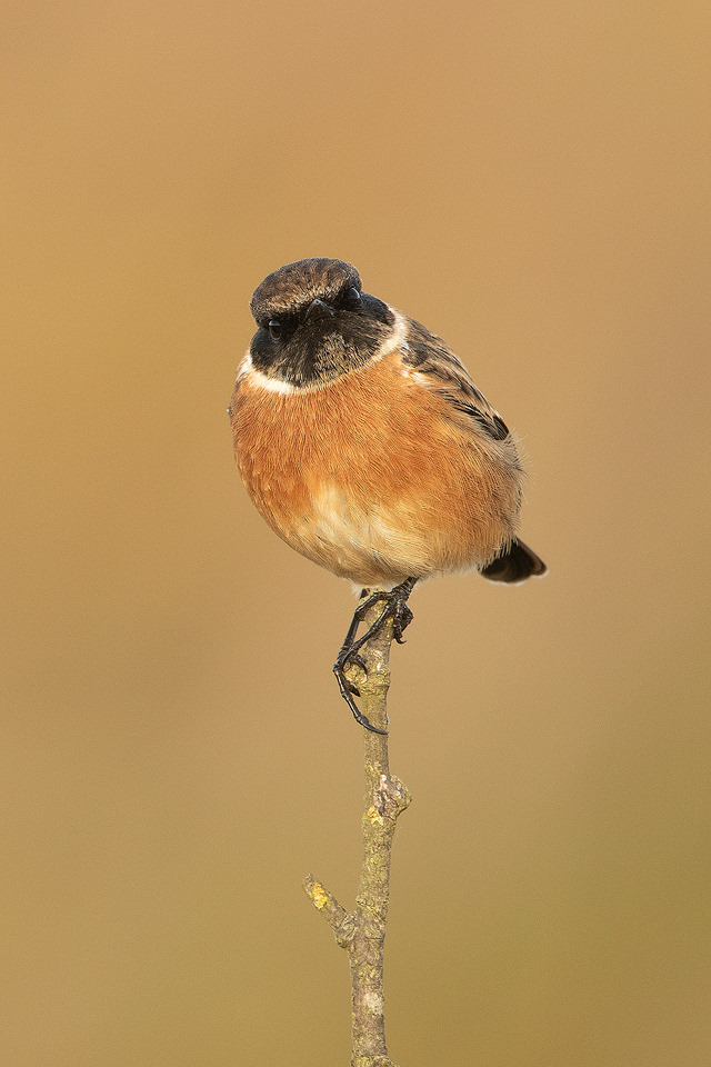 A male stonechat poses beautifully on a lichen covered branch in warm late afternoon sunshine. Lincolnshire Coast, UK. As the name 'Stonechat' suggests, the birds sharp call sounds like two stones being tapped together.