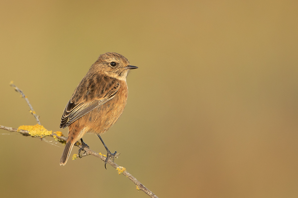A female stonechat poses beautifully on a lichen covered branch in warm late afternoon sunshine. Lincolnshire Coast, UK. As the name 'Stonechat' suggests, the birds sharp call sounds like two stones being tapped together.