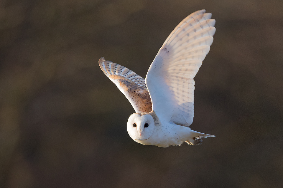 Barn Owl hunting in some late afternoon winter sunshine. Whilst barn owls are primarily nocturnal for much of the year, during the winter months they are sometimes forced to hunt during daylight hours due to vole activity dropping in the sub-zero night time temperatures.