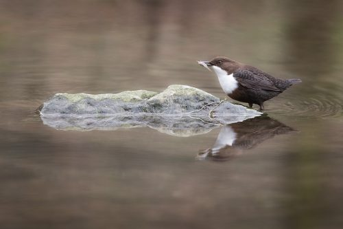 Reflected Dipper With Fish. Derbyshire Dales, Peak District National Park. I watched this dipper hunting along a clam stretch of the river and after watching it pluck a wriggling fish from the water I waited for the dipper to reach a nearby rock and pause to enjoy its catch.