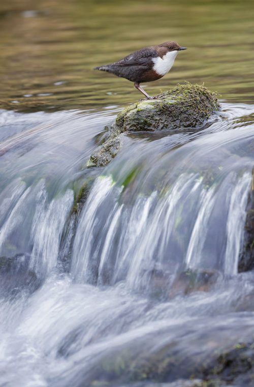 Dipper on a Waterfall. I followed the daily life of this particular dipper for several weeks until he got used to my presence. It's always such a pleasure to earn the trust of a wild animal and allows the opportunity for images that wouldn't be possible with a brief visit. Here I used a slow shutter speed of 1/20 second to show show motion in the water. With images like this it's a case of taking a large number of photos and finding the sharpest one, as any slight movement from the subject and the image can be ruined.
