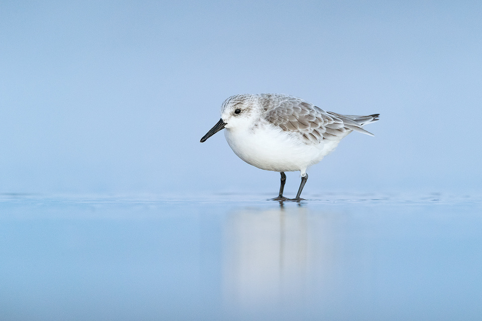 Sanderling at dawn taken during a recent trip to the Lincolnshire coast. After a treacherous walk across the salt marshes in the pitch black, I arrived at the shore well before sunrise and set up to wait for the tide to change. After what felt like an age the sun finally started to rise and a group of sanderlings and dunlins scuttled across the sand in front of me, plucking crustaceans out of the surf . This Sanderling paused briefly, allowing a series of portraits in the blue dawn half light.