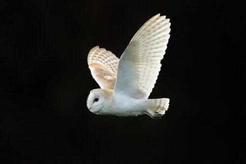 Winter Barn Owl II - Peak District Wildlife Photography