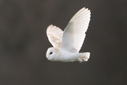 Winter Barn Owl II - Peak District Wildlife Photography