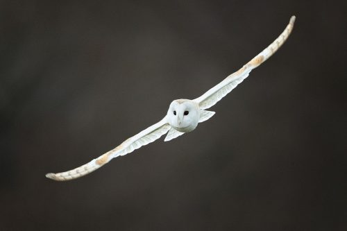 Winter Barn Owl - Peak District Wildlife Photography