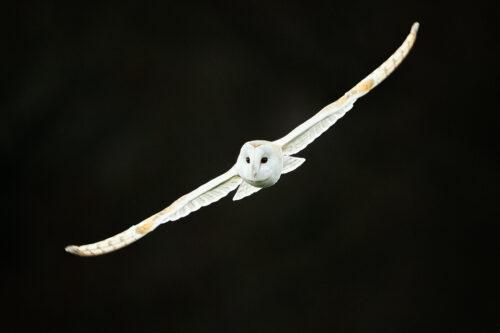 Winter Barn Owl - Peak District Wildlife Photography