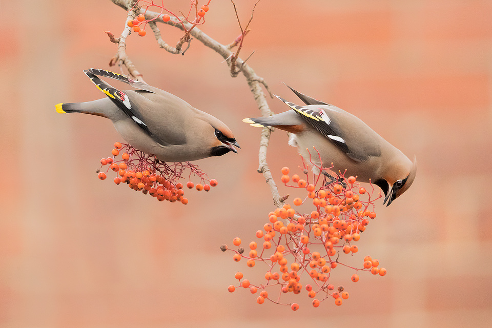 Sheffield Waxwings. Colourful winter visitors to the UK. These stunning birds come to the UK to feast on the berry crop when there is a shortage of food for them at home. This only happens periodically and when large numbers of them appear it's known as an irruption. This pair of Waxwings were enjoying the berry crop on a busy urban street in my home city of Sheffield. It was a real pleasure to be able to see these stunning birds so close to home, next to the busy Ecclesall road in my home city of Sheffield. Although they had been around for a couple of weeks I waited until the tree tops were bare so that I could photograph them against the colours of the brickwork on the lower branches.