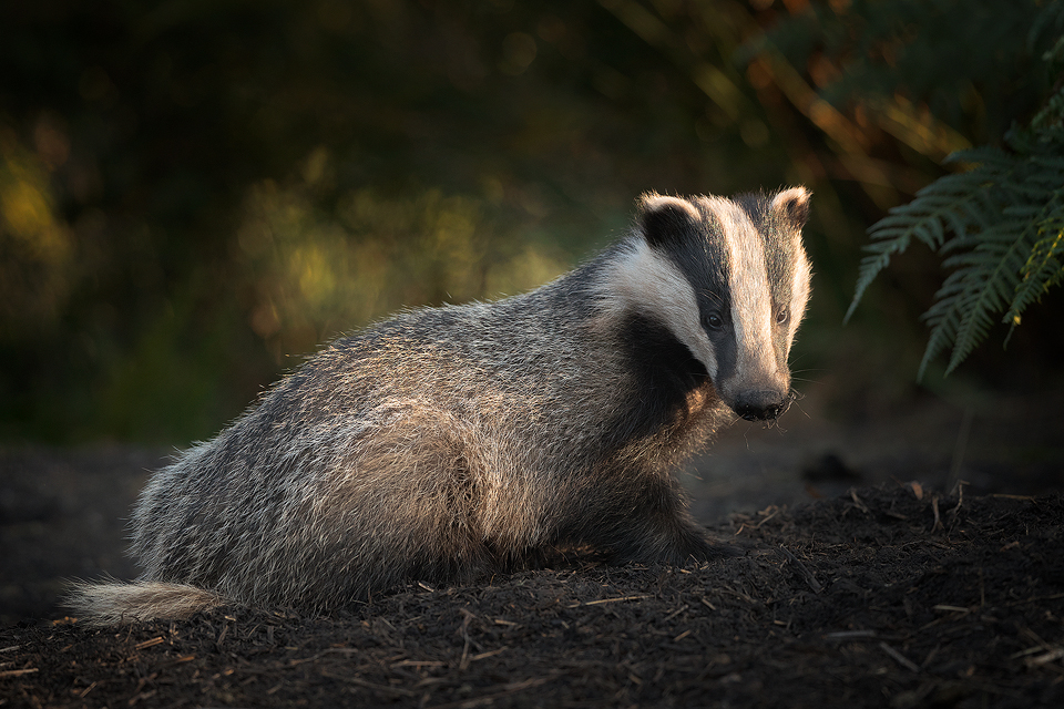 Badgers and bTB. How badgers are involved in the spread of bovine tuberculosis.