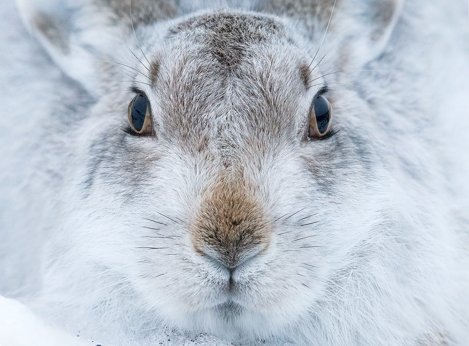 Mountain Hare Portrait. Although Mountain hares are renowned for their shy nature, their latin name 'Lepus Timidus' actually translates to timid hare, the key is finding a confiding individual. After many years photographing the Peak District hares I have learnt where to find particularly obliging hares that allow an incredibly close approach. It's always a pleasure spending a couple of hours just sitting with a hare, building trust and watching as they stretch and groom just a few feet away.