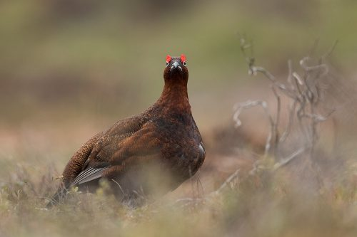 Red Grouse Frown. Male red grouse looking upset due to the white strip of feathers under the beak, Derbyshire, Peak District National Park. This particular bird has a real personality and is such a poser that I decided to nickname him Famous. This image was taken during my long term red grouse project where I spent several months photographing red grouse as they warmed up to the breeding season. Grouse are often very flighty and nervous, but after  spending so much time with the same birds some of the grouse got so used to my presence they ignored me and got on with their day allowing me to capture much more natural behaviour and a range of unusual images.