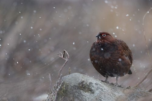 Male red grouse in falling snow, Derbyshire, Peak District National Park. Taken during my long term red grouse project where I spent several months photographing red grouse as they warmed up to the breeding season. Grouse are often very flighty and nervous, but after  spending so much time with the same birds some of the grouse got so used to my presence they ignored me and got on with their day allowing me to capture much more natural behaviour.