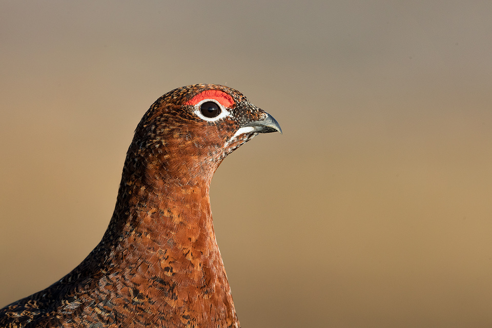 Red Grouse Close Up. Close up detailed portrait of a stunning male red grouse, Derbyshire, Peak District National Park. This particular bird has a real personality and is such a poser that I decided to nickname him Famous. This image was taken during my long term red grouse project where I spent several months photographing red grouse as they warmed up to the breeding season. Grouse are often very flighty and nervous, but after  spending so much time with the same birds some of the grouse got so used to my presence they ignored me and got on with their day allowing me to capture much more natural behaviour.