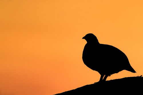 Red Grouse Silhouette, Derbyshire, Peak District National Park. Silhouette of a red grouse against a vibrant sunset sky. This was one of the trickiest images to achieve during my project, as the grouse always seemed to choose either a distracting perch or they would tuck themselves right down into the vegetation when the light was just right. I eventually got a break when Famous chose this nice clear rock as a calling post at the end of a beautiful afternoon.This image was taken during my long term red grouse project where I spent several months photographing red grouse as they warmed up to the breeding season. Grouse are often very flighty and nervous, but after spending so much time with the same birds some of the grouse got so used to my presence they ignored me and got on with their day allowing me to capture much more natural behaviour.