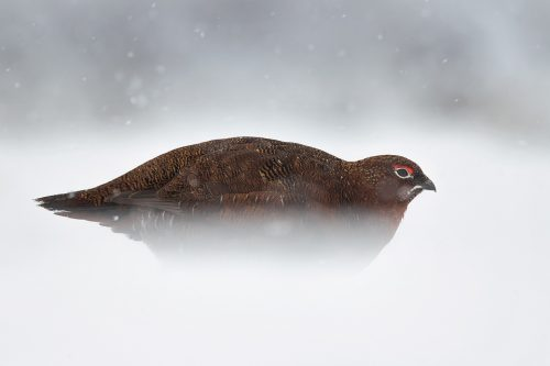 Red Grouse Walking Through Snow, Derbyshire, Peak District National Park. This image was taken during my long term red grouse project where I spent several months photographing red grouse as they warmed up to the breeding season. Grouse are often very flighty and nervous, but after spending so much time with the same birds some of the grouse got so used to my presence they ignored me and got on with their day allowing me to capture much more natural behaviour.