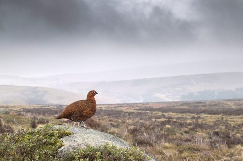 Red Grouse Habitat, Derbyshire, Peak District National Park. Red grouse shown in moorland habitat perched on his favourite rock. One of the advantages of doing an in depth project with the grouse has meant the birds have become so habituated to my presence that I could shoot this with a 16-35 wide angle lens.  This image was taken during my long term red grouse project where I spent several months photographing red grouse as they warmed up to the breeding season. Grouse are often very flighty and nervous, but after  spending so much time with the same birds some of the grouse got so used to my presence they ignored me and got on with their day allowing me to capture much more natural behaviour.