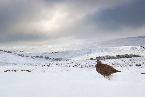 Red Grouse in Snow Covered Habitat, Derbyshire, Peak District National Park. This image was taken with a 16-3mm wide angle lens to show the grouse in the wider habitat. Taken during my long term red grouse project where I spent several months photographing red grouse as they warmed up to the breeding season. Grouse are often very flighty and nervous, but after  spending so much time with the same birds some of the grouse got so used to my presence they ignored me and got on with their day allowing me to capture much more natural behaviour.