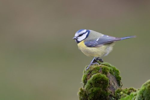 Blue tit perched on a moss covered log, Derbyshire, Peak District National Park.