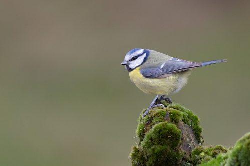 Blue tit perched on a moss covered log, Derbyshire, Peak District National Park.